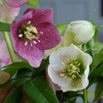 White and purple freckled hellebores. Bloom, Purple, Flowers, Plants, Plant, Royal Icing Flowers, Flower, Viola, Florals