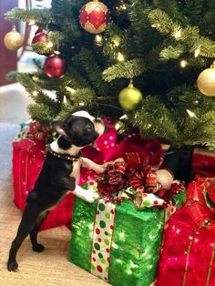 The Boston Terrier breed originated in Boston and is one of the few breeds that are native to the U. In the an inter-mixing of English Bulldogs Terrier Breeds, Terrier Puppies, Pitbull Terrier, Boston Terrier Love, Boston Terriers, I Love Dogs, Cute Dogs, Boston Terrier Temperament, English Terrier