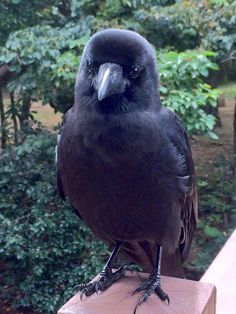 Young Raven, looking all floofy. I Like Birds, Cute Birds, Little Birds, Beautiful Birds, Animals Beautiful, Jackdaw, Crows Ravens, Tier Fotos, Cute Funny Animals