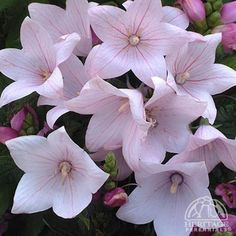 platycodon astra pink - Google Search