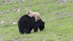 Rare black cub with odd coloring might be a ' bear':Adorable bear cub with white fur was spotted in Whistler, B. Experts say it is either an albino or a Kermode bear, or spirit bear. Urso Bear, Black Bear Cub, Spirit Bear, Love Bear, Bear Cubs, Polar Bears, Panda Bears, Tier Fotos, Albino