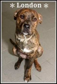 Sweet 3 legged puppy is waiting for you at SPCA Montreal * Pet ID 181304 - London - Annex's Contact Info    SPCA Canadienne, Montréal, QC  ( 514 915-7311 ) More Info: http://www.petfinder.com/petdetail/24628302