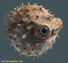 STRANGE BIG EYED PUFFER FISH..  Puffer fish make me giggle!  ( This one is so cute~)