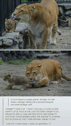 27 Animal Memes Cute Enough To Warm Your Frostbitten Hearts - Funny Baby - liger licking her baby cub The post 27 Animal Memes Cute Enough To Warm Your Frostbitten Hearts appeared first on Gag Dad. Funny Animal Memes, Cute Funny Animals, Cute Baby Animals, Funny Animal Pictures, Funny Cute, Animals And Pets, Cute Cats, Funny Memes, Funniest Memes