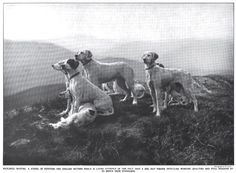 English setters and pointers in 1915, from the magazine Country Life in America. I love the one sitting over his pal, front left. #englishsetter #pointer