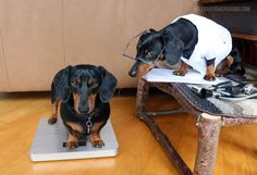 Whoa! The Weight on Oakley! ;-O Dr. Crusoe: Oakley Gets a Check-up - Crusoe the Celebrity Dachshund