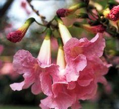 Flores de ipê