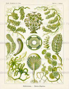 Ernst Haeckel Green Algae Scientific di AdamsAleArtPrints su Etsy
