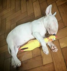 tag your friends . Mini Bull Terriers, Bull Terrier Puppy, English Bull Terriers, Chicken For Dogs, Dogs And Puppies, Corgi Puppies, Doggies, Best Dog Breeds, Funny Animal Pictures