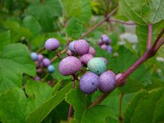 Ampelopsis, Porcelain Berry vine. Just ordered the seeds. A few years should find me with an awesome vine-covered fence!
