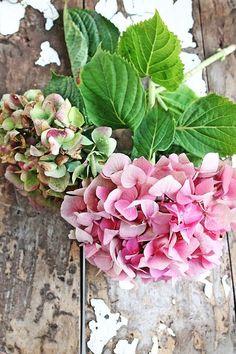 Så står det en herlig helg foran oss alle sammen og vi tar den i mot med vid åpene armer :) Her er siste rest av mine hortensiar i hagen...