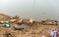 Some of the 157 dead pigs discovered in the Gan River. March, 2014. Photo: Xinhua