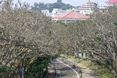 Tangled twig, Okinawa