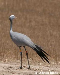 Blue Crane, as seen on our 2-day Agulhas Plains (Overberg) Birding Trips. (Photo by Adrian Binns). Visit www.birdingecotours.co.za for more info.