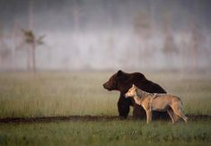 Best of friends in the wild, this bear and wolf are one dynamic duo