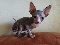 The most adorable kittens!! 8 weeks old sphinx kitten