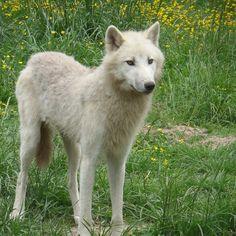 Loup Blanc, Prairie, Sauvage