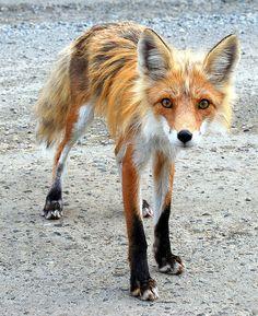 Mountain Fox
