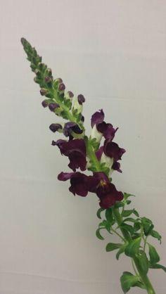 Løvemunn Plants, Church Flower Arrangements, Plant, Planets