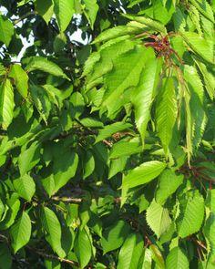 Prunus avium - wild cherry