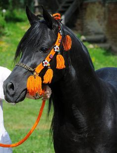 Ghandur II, arabian horse ...........click here to find out more http://googydog.com