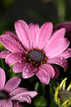 Pink Daisy (Osteospermum)  ❤