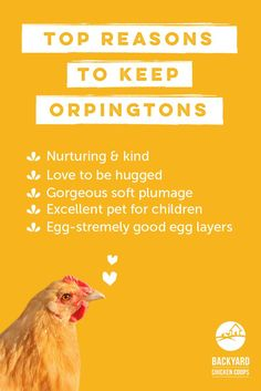 Orpington chickens have many wonderful qualities and characteristics that make them a brilliant chook to keep. Here are more reasons to love these chickens, http://www.backyardchickencoops.com.au/5-reasons-to-love-orpington-chickens #loveyourchickens #orpingtons #OrpingtonChickens