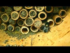 Mason bees can pollinate 100x better than honey bees !