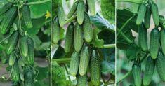 izl Samos, Cactus Plants, Cucumber, Vegetables, Gardening, Lawn And Garden, Balcony, Cacti, Cactus