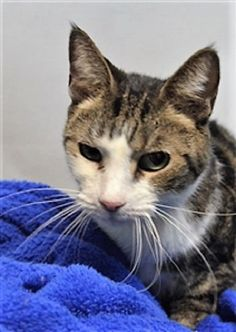 LUCKY - 14682 - - Brooklyn  *** TO BE DESTROYED 12/06/17 *** LUCKY is not feeling very lucky today.  She was not planning on sitting alone in a shelter after being dumped by her owner. LUCKY is already spayed, but has a heart murmur which should have a follow up check.  Lucky is very sweet and hoping someone will adopt her for the holidays! -  Click for info & Current Status: http://nyccats.urgentpodr.org/lucky-14682/