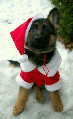 Christmas German Shepherd puppy
