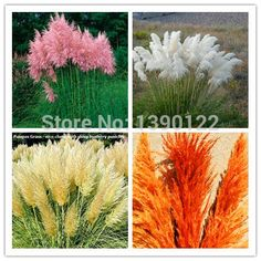 1200 PCS/package PAMPAS GRASS seeds ,rare reed flower seeds for home garden planting Selloana Seeds Garden decoration DIY!-in Bonsai from Home & Garden on Aliexpress.com | Alibaba Group