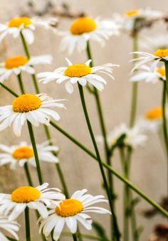Items similar to White daisy decor canvas on Etsy