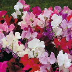 Everlasting Sweet Pea Very fast growing. Grows best when it gets only morning sun or in a fully shaded area. Grows 6-10'