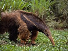 latest videos of animal anteater pet poster cute animals of anteater eating ants images pictures of animal baby anteater habitat . Animals Of The World, Animals And Pets, Baby Animals, Funny Animals, Cute Animals, Bizarre Animals, Especie Animal, Animal Facts, Mundo Animal