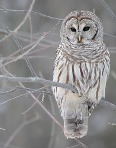 Is it just me or is this owl particularly attractive because it has cat shaped eyes?