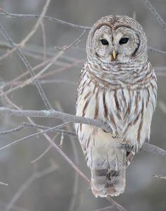 love snow owls