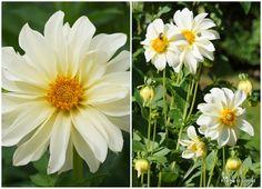 Dahlia sown from seeds.  http://frafroetilblomst.blogspot.dk/2012/08/frformering-og-stiklingeformering-af.html