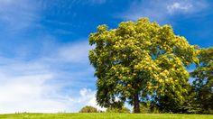 Esche - Das keltische Baumhoroskop 25.05.-03.06. & 22.11.-01.12. Die schlanke Esche gilt psychologisch auch als das archetypisch Urweibliche im Pflanzenreich und sie wurde häufig in der Magie eingesetzt.