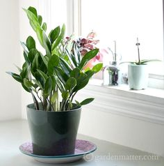 The ZZ plant, Zamioculcas Zamifolia, is a popular houseplant with gorgeous lush foliage. It's very easy to care for and thrives in low lighting situations.