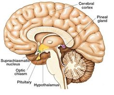 Pituitary gland is an endocrine gland situated on the base of brain. The hormones produced by the pituitary gland regulate Pituitary Gland Tumor, Pineal Gland, Zen Meditation, Cushing Disease, Optic Nerve, Les Chakras, Lack Of Energy, Brain Tumor, Endocrine System