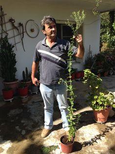 Απίστευτο και όμως αληθινό!! Η δυναμική του φυτού Στέβια είναι τόσο μεγάλη, που αναπτύχθηκε τόσο...που ξεπέρασε σε ύψος τον παραγωγό μας κ. Θύμιο.