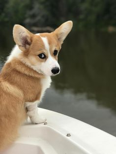 The Queens corgis — Piper (mostly) loving lake day at...