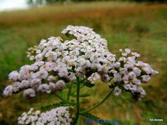 Achillea Millefolium, Beauty Hacks, Beauty Tips, Dandelion, Herbs, Garden, Flowers, Plants, Garten