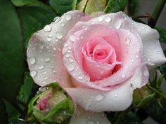 Photo by Scarlett Crespin Beautiful Pink Roses, Mothers Love, Flower Photos, Tree Branches, Flower Power, Art Pieces, Pretty, How To Make, Gardenias
