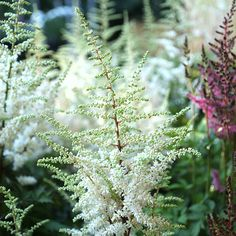 Astilbe chinensis 'Vision in White' - July to August