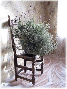Jag älskar lavendel. I ena delen av renässanslandet i trädgården har jag planterat lavendel. Det går bra, de övervintrar, även här i norr, h...