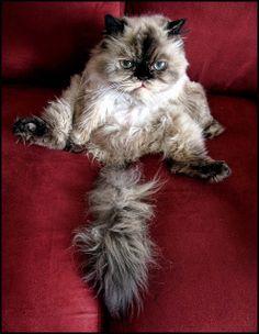 Half persian half himalayan cats