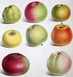 Elizabeth Ronalds | Pyrus Malus Brentfordiensis: or a concise description of selected apples. Longman, Rees, Orme, Brown & Green 1831.