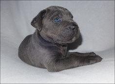 Op 13-01-2015 zijn er 10 prachtige, gezonde Cane corso pups geboren! Het zijn 6 teefjes en 4 reutjes: zwart, zwart gestroomd, en grijs. De pups worden liefdevol en huislijk opgegroeid, gechipt, ingeënt, en ontwormd. Ook krijgen ze een officiële stamboom en een uniek DNA profiel! Natuurlijk beoordelen wij of u een geschikt baasje bent voor de gewenste pup(s). Ook wordt er een koopovereenkomst afgesloten. Met vriendelijke groet, Chantal Croughs www.canecorsopup.nl